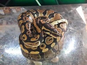 Royal Python babies CB (Python regius) Image