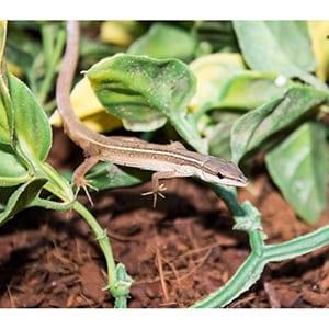 Asian Long Tail Lizard wc (Takydromus sexlineatus) Image