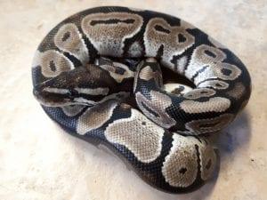 Visual Axanthic Royal Python CB (Python regius) Image