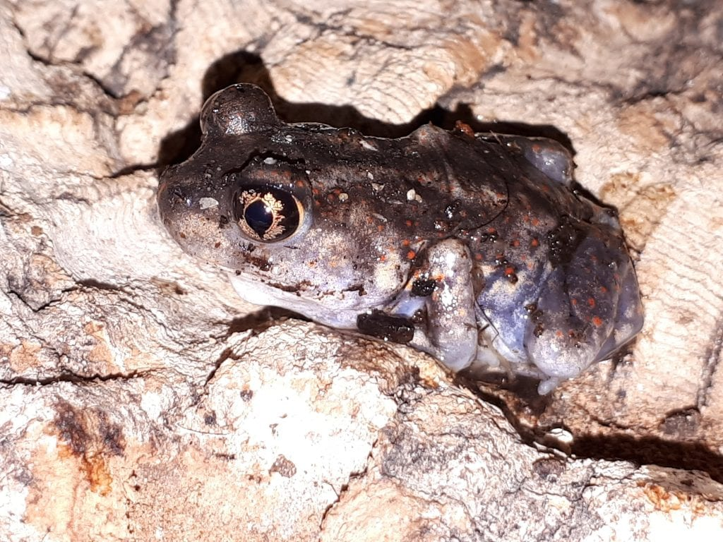 Eastern Spadefoot Toad WC (Scaphiophus holbrooki) Image