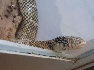 Florida King Snake CB (Lampropeltis getulus floridana) Image