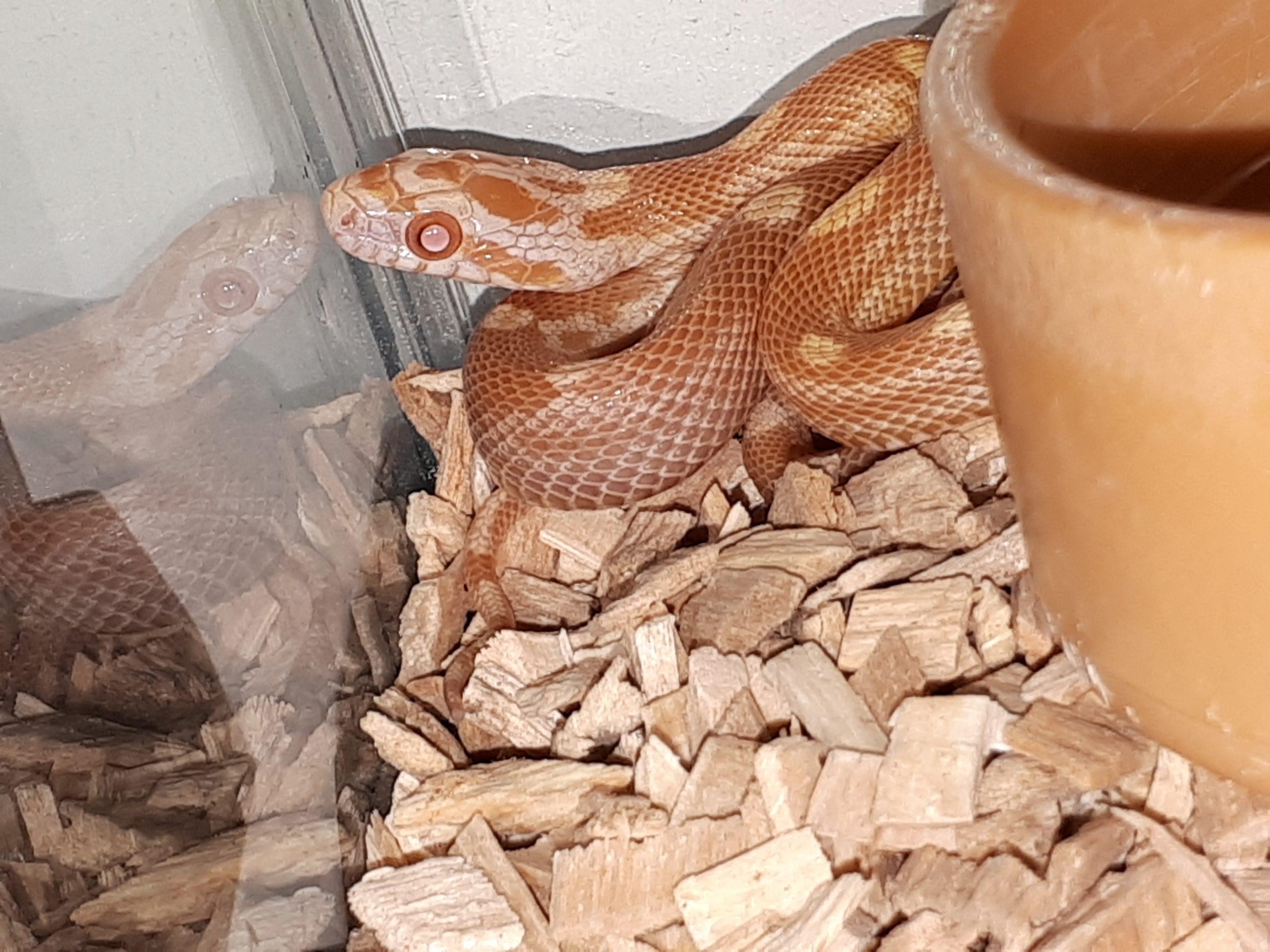 Butter Motley Corn Snake CB (Pantherophis guttatus) Image