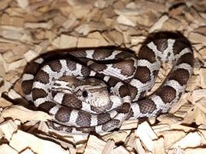 Hatchling Anery Corn Snake CB (Pantherophis guttatus) Image