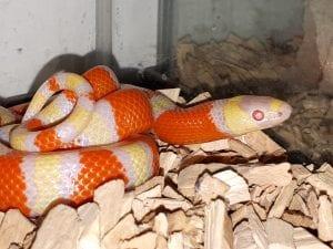 Hatchling Albino Honduran Milk Snake CB (Lampropeltis triangulum hondurensis) Image