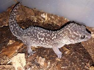 Panther Gecko CB (Pareodura pictus) Image