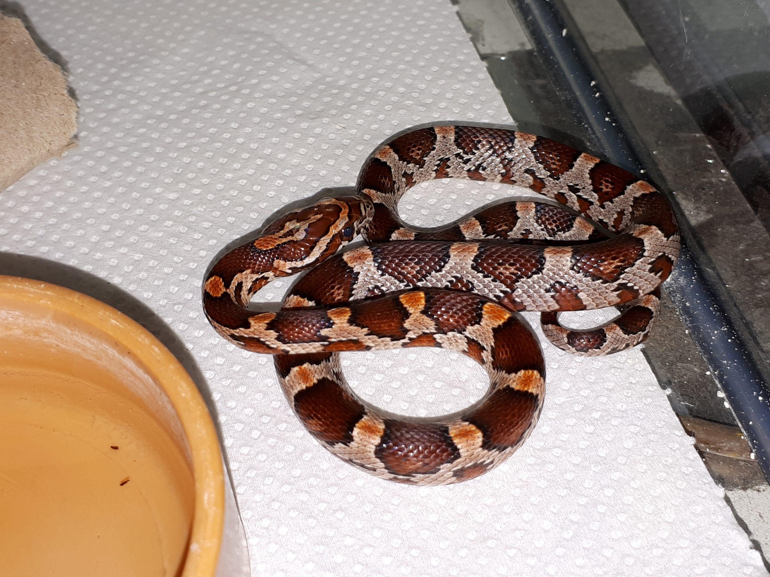 Carolina Corn Snake CB (Pantherophis guttatus) Image