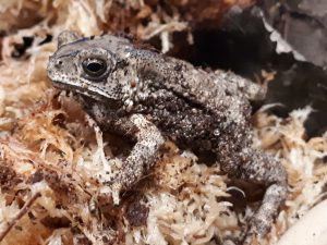 Asian Black Spined Toad WC (Amietophrynus melanostictus) Image