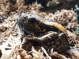Chubby Frog WC (Kaloula pulchra) Image