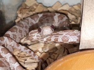 Hypo Ultramel Corn Snake CB (Pantherophis guttatus) Image