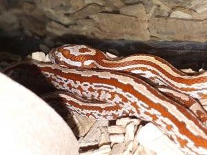 Hypo Motley Tessera Corn Snake CB (Pantherophis guttatus) Image