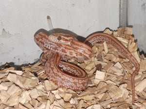 Hypo Tessera Corn Snake CB (Pantherophis guttatus) Image