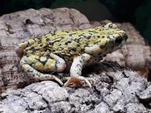 Western Green Toad WC (Anaxyrus debillis) Image