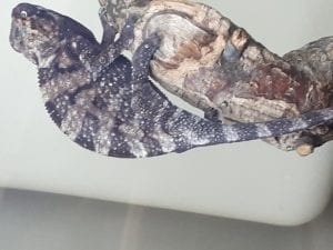 Nosy Be Panther Chameleon Female (Furcifer pardalis) Image