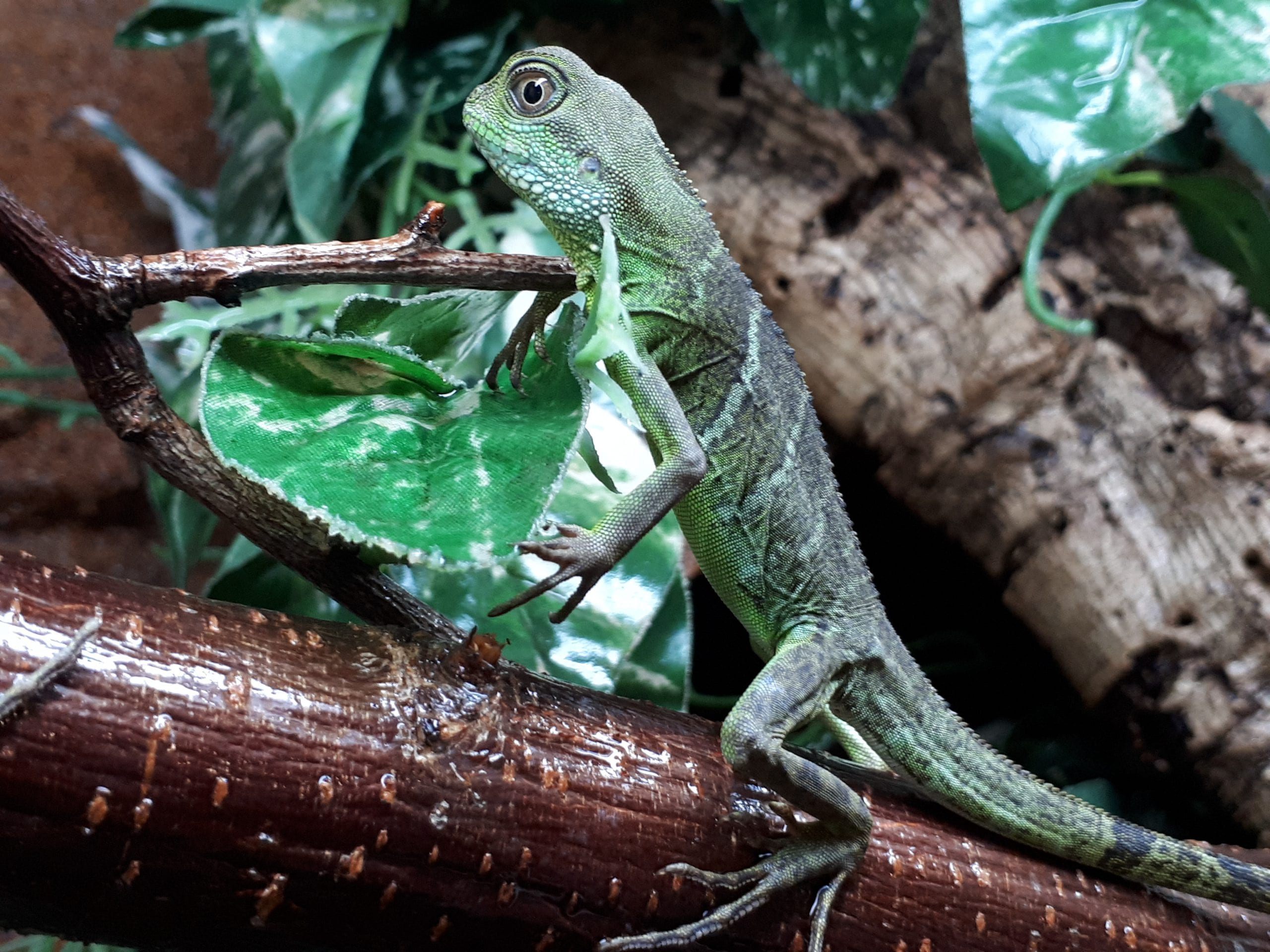 Asian Water Dragon CF (Physignathus cocincinus) Image