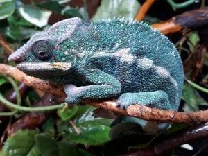 Nosy Be Panther Chameleon CB (Furcifer pardalis) Image