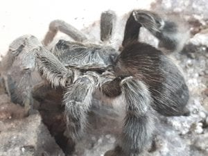 Stout Legged Baboon Tarantula CB (Eucratoscelus pachypus) Image
