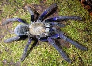 Singapore Blue Tarantula CB (Lampropelma violascens) Image