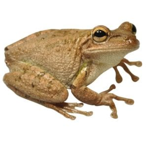 Cuban Tree Frog WC (Osteopilus serpentrionalis) Image