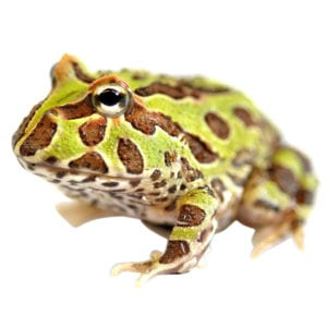 Argentinian Horn Frog CB (Ceratophrys cranwelli) Image