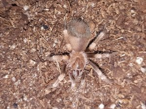 Giant Red Knee Tarantula CB (Brachypelma smithi - formerly annitha) Image