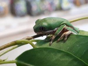 Tiger Legged Monkey Frog CB (Phyllomedusa hypochondrialis) Image