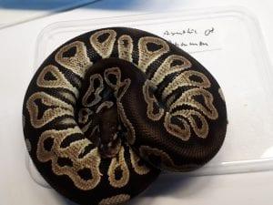 Axanthic Cinnamon Royal Python CB (Python regius) Image