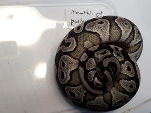 Axanthic Pastave Royal Python CB (Python regius) Image