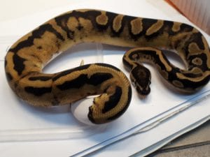 Leopard Piebald Royal Python CB (Python regius) Image