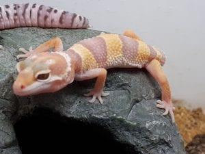 Tremper Albino Leopard Gecko CB (Eublepharis macularius) Image