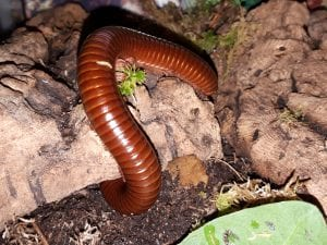 Chocolate Millipede WC (Ophistreptus quineensis) Image