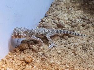 Elegant Dune Gecko WC (Stenodactylus sthenodactylus) Image