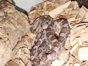 Phantom Masque Corn Snake CB (Pantherophis guttatus) Image