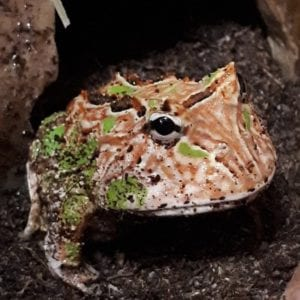 Red and Brown Fantasy Horn Frog CB (Ceratophrys cranwelli X cornuta) Image