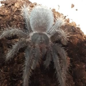 Haitian Brown Tarantula WC (Phormictopes cancerides) Image