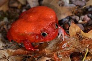 True Tomato Frog CB (Dyscophus antongilli) Image