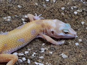 Aptor Leopard Gecko CB (Eublepharis macularius) Image