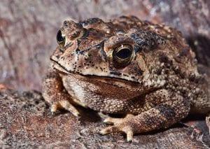 Asian Black Spined Toad WC (Duttaphrynus melanostictus) Image