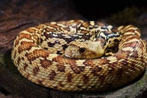 Sonoran Gopher Snake 100% het Albino (Pituophis catenifer affinis) Image