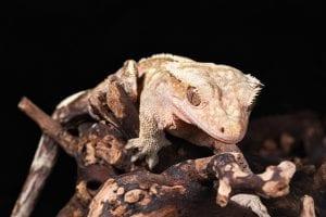 Adult Crested Gecko CB (Correlophus ciliatus) Image
