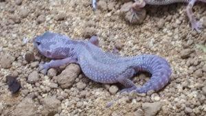 Mack Snow Leucistic Leopard Gecko CB (Eublepharis macularius) Image