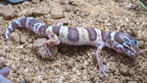 Albino Mack Snow Leopard Gecko CB (Eublepharis macularius) Image