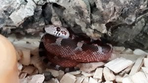 Diffused Corn Snake CB (Pantherophis guttatus) Image