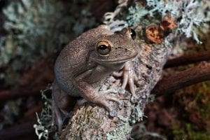 Cuban Tree Frog WC (Osteopilus serpentrionalis) Image