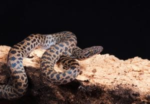 Spotted Python CB (Antaresia maculosa) Image