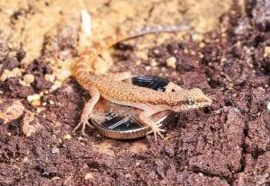 Tripoli Micro Gecko WC (Tropiocolotes tripolatanus) Image