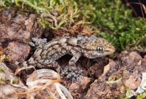 Annulated Gecko CB (Tarentola annularis) Image