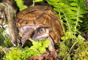 Three Toed Box Turtle CB (Terrapene carolina triunguis) Image