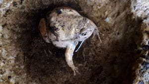 Burrowing Frog WC (Caluella guttulatta) Image