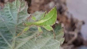 Phillipine Leaf Insect CB (Phyllium phillipinicum) Image