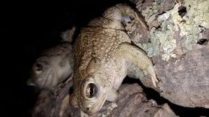 Texas Toad WC (Anaxyrus speciosus) Image